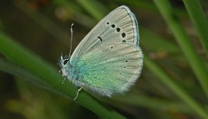 Mariposa mancha verde Glaucopsyche alexis