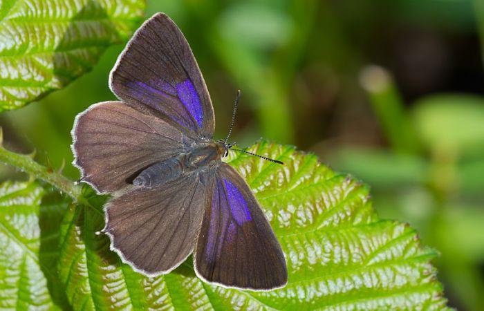Mariposa nazarena favonius quercus