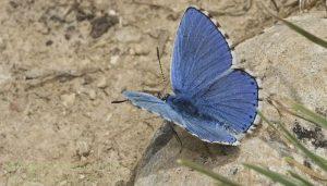 Mariposa niña celeste