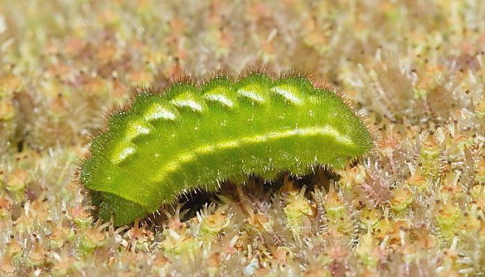 Oruga de la mariposa cejilba Callophrys rubi