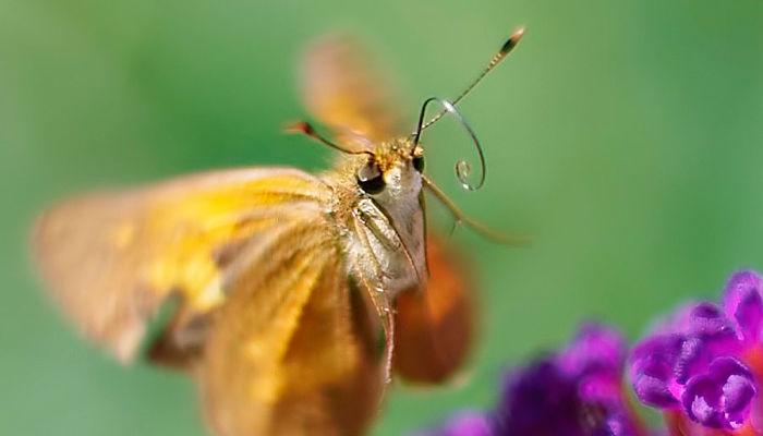 antenas de mariposas