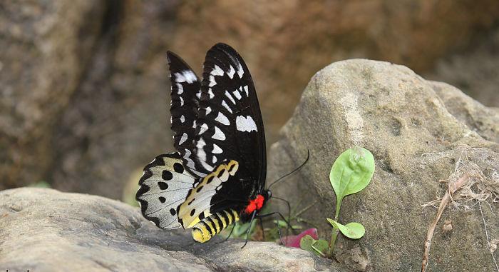 Mariposa ala de pájaro (Ornithoptera chimaera)