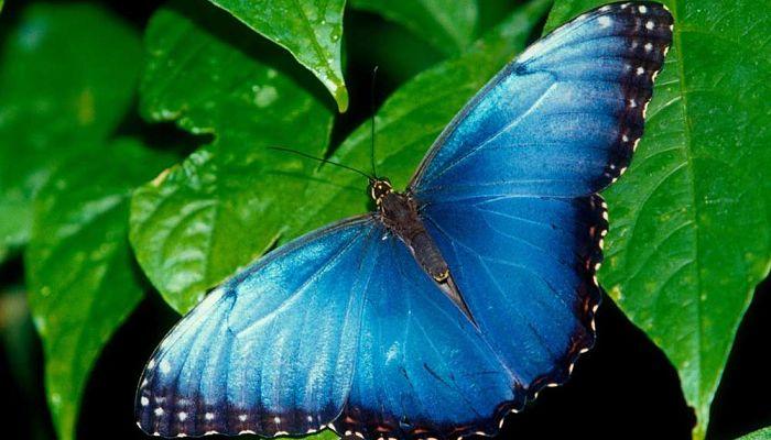 Mariposa en peligro de extinción
