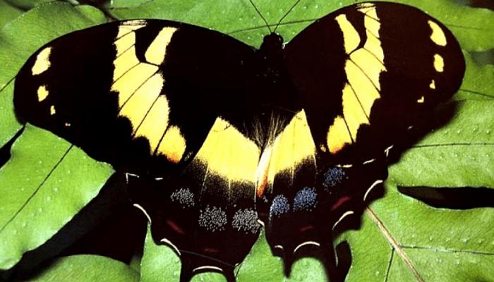 Papilio homérico