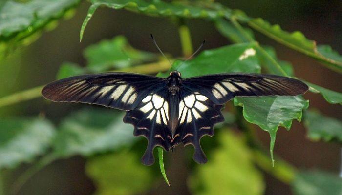 10 Mariposas En Peligro De Extinción Que Quizá No Sabías