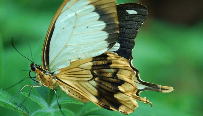 Partes de una mariposa